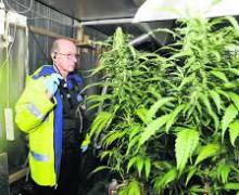 cannabis 1